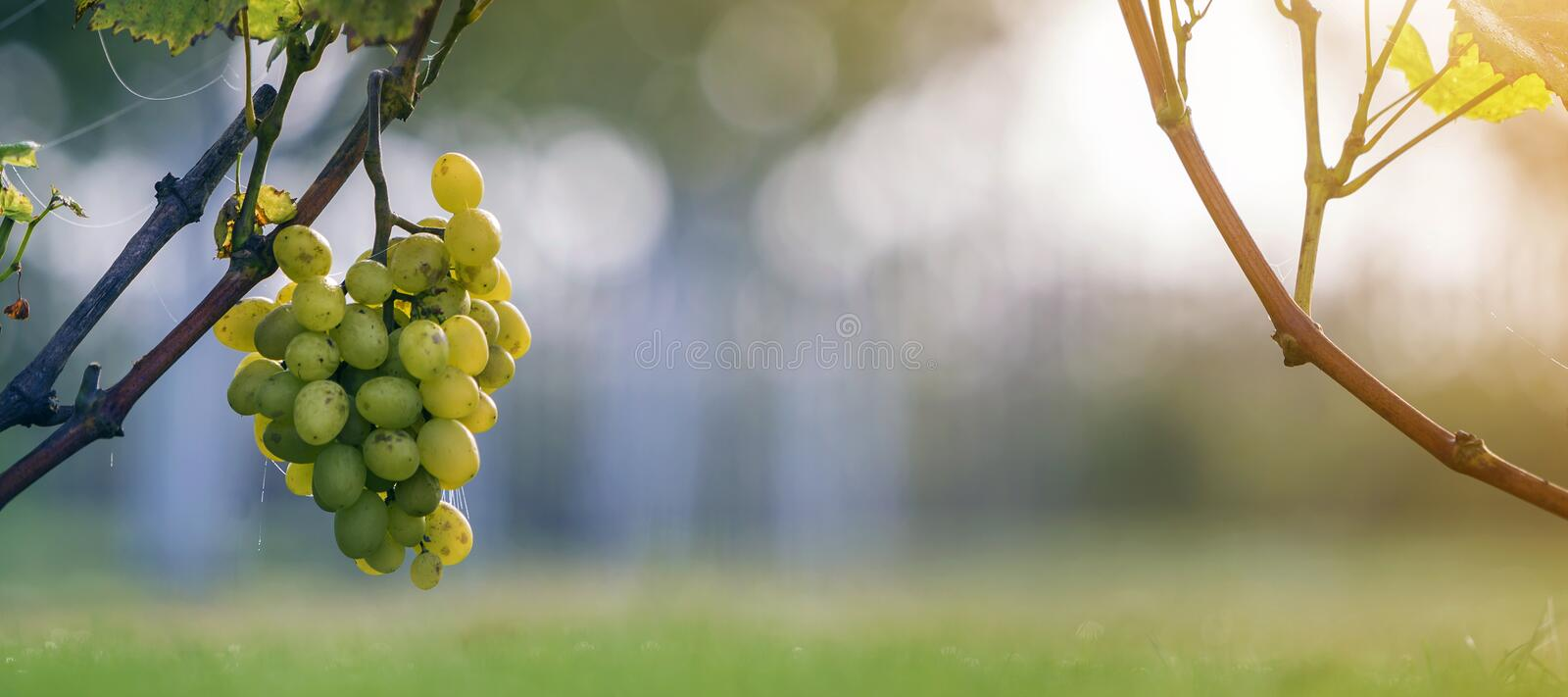 Close-up of growing young vine plants tied to metal frame with green leaves and big golden yellow ripe grape clusters on blurred. Sunny colorful bokeh royalty free stock photography