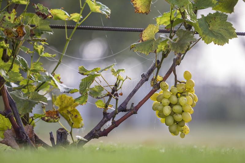 Close-up of growing young vine plants tied to metal frame with green leaves and big golden yellow ripe grape clusters on blurred. Sunny colorful bokeh stock photography