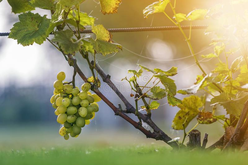 Close-up of growing young vine plants tied to metal frame with green leaves and big golden yellow ripe grape clusters on blurred. Sunny colorful bokeh royalty free stock photo