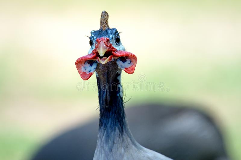 Guinea fowl head royalty free stock image