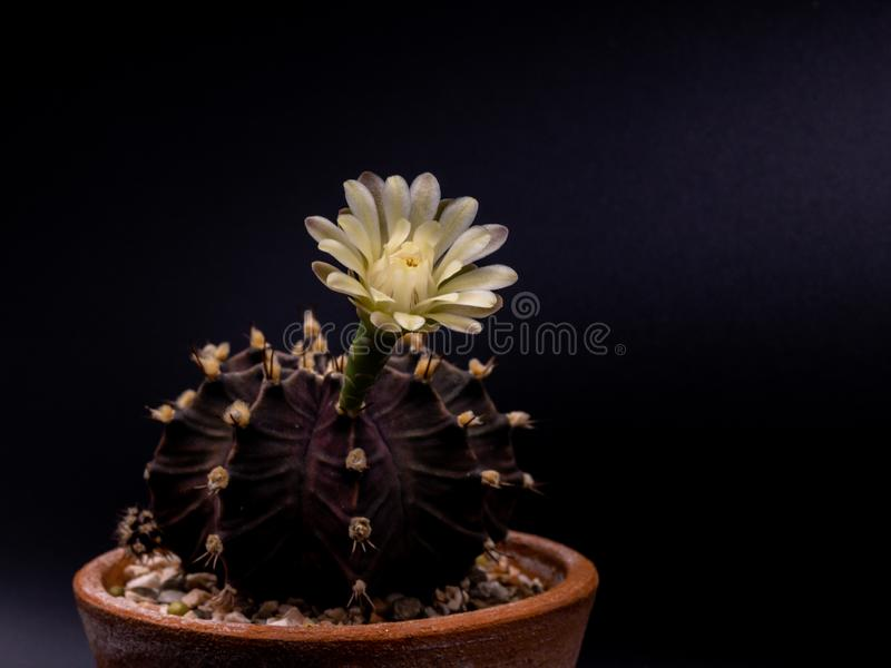 Close up Gymnocalycium mihanovichii  with flower cactus or Ruby Ball cacti on pot on isolate black background. royalty free stock image