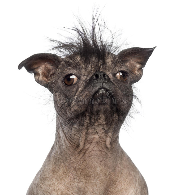 Close-up of a Hairless Mixed-breed dog, mix between a French bulldog and a Chinese crested dog stock photography