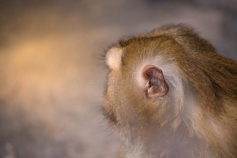 Brown monkey. Close up hairy ear and head of white brown monkey royalty free stock image