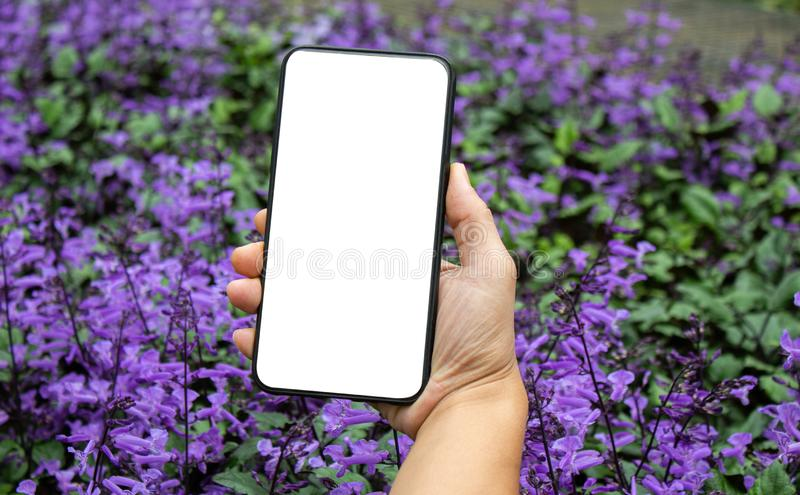 Close-up of hand holding smartphone isolated on purple flowers background with space for your text.  stock image