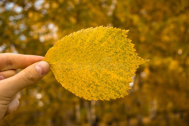 Close-up of hand holds yellow leaf on autumn trees background. Autumn season composition in park. Close-up of man hand holding yellow leaf on trees background royalty free stock photo