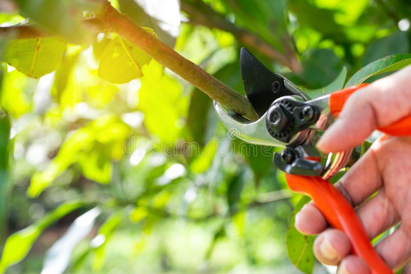 close up hand of person holding scissors cut the branches of tree in garden for agriculture,nature concept. stock image