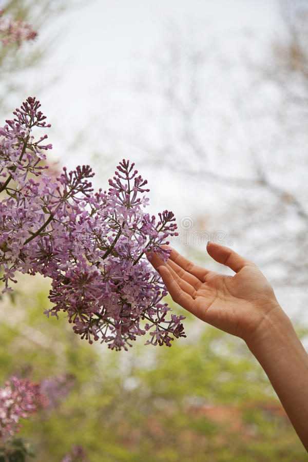 Close up of hand touching flower blossom, outside in the park in springtime royalty free stock images