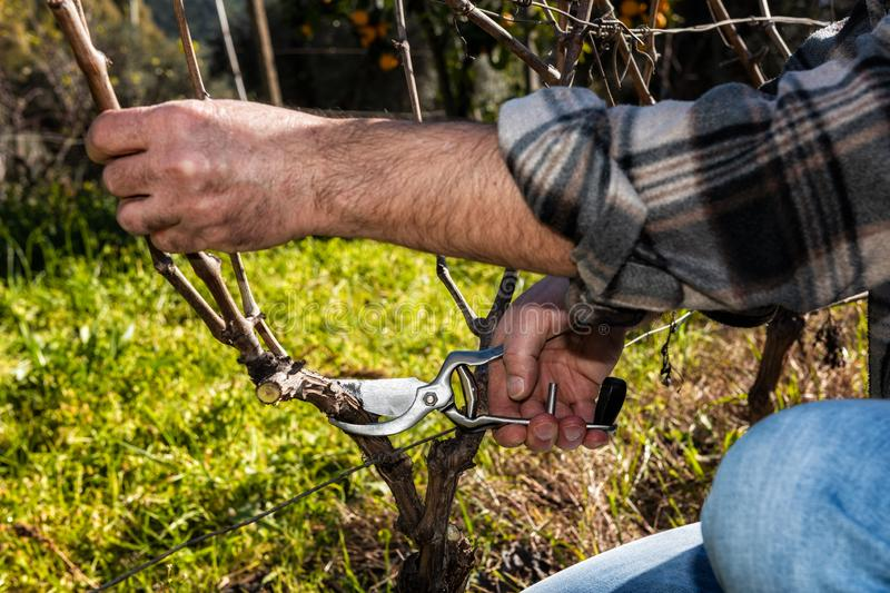 Farmer works at pruning in a vineyard. Close up of the hands of a Caucasian winegrower at work, engaged in pruning the vine with professional scissors royalty free stock image
