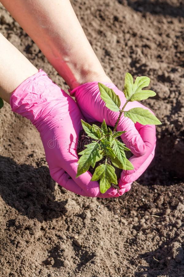 Close up hands of female gardener is planting green tomato seedlings. Close up hands of female gardener in pink gloves. Planting green cabbage seedlings in the stock image