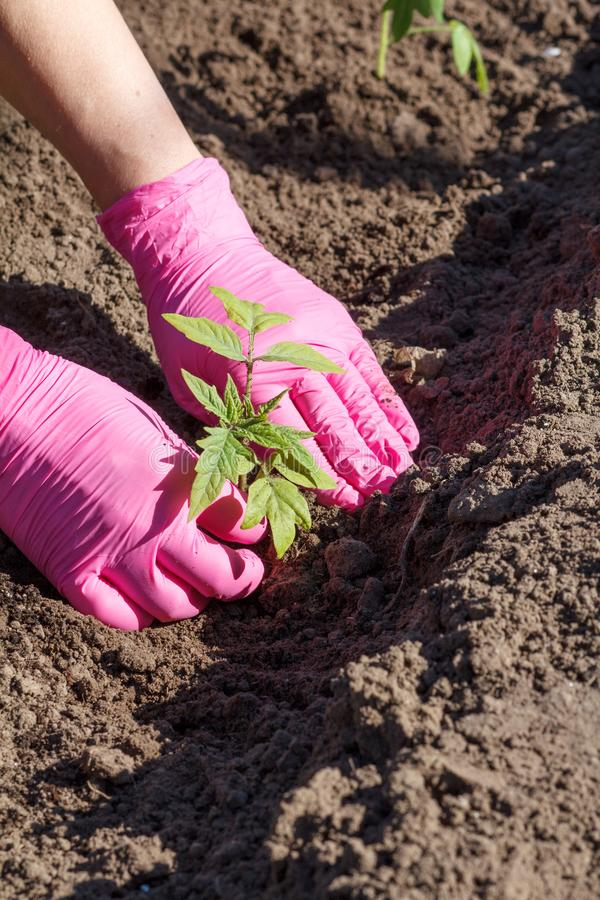 Close up hands of female gardener is planting green tomato seedlings. Close up hands of female gardener in pink gloves. Planting green cabbage seedlings in the royalty free stock photo
