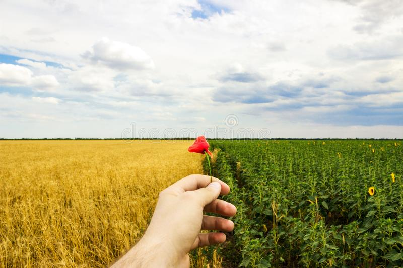 Close-up of hands and flower of a wild poppy, field of sunflowers and wheat in the background.  royalty free stock photo