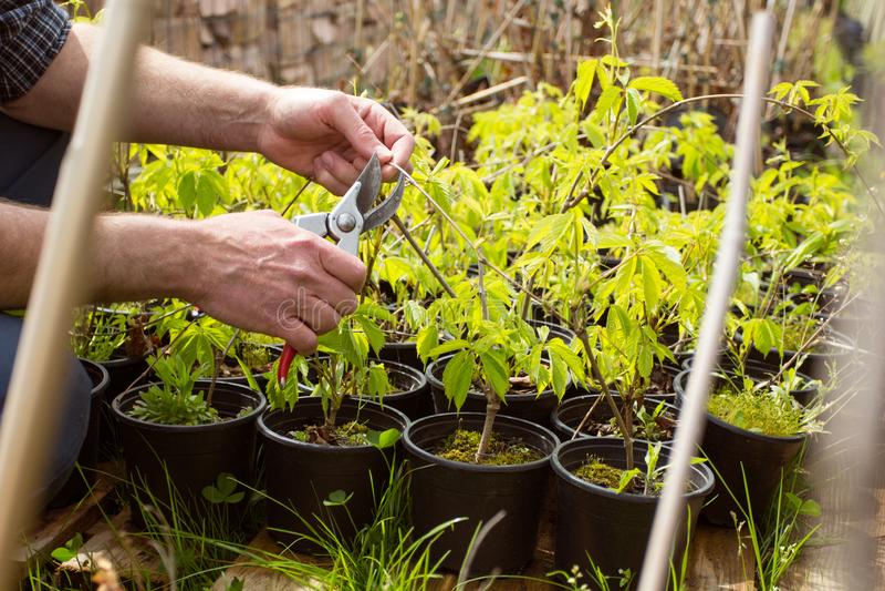 Close-up. Hands gardener pruned shrub shears royalty free stock photos