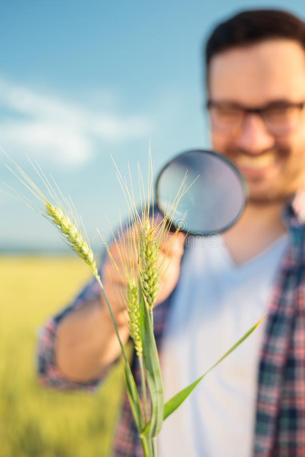 Close-up of a happy young agronomist or farmer inspecting wheat plant stems with a magnifying glass stock photo