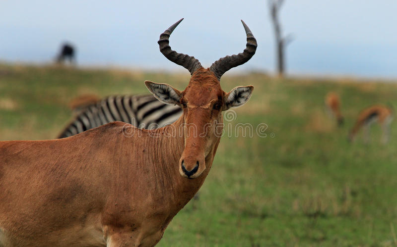 Close up of a Hartebeest with other animals in the background stock photography