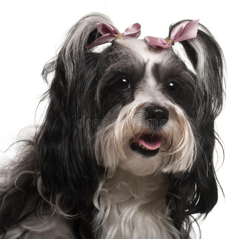 Close-up of Havanese, 3 years old