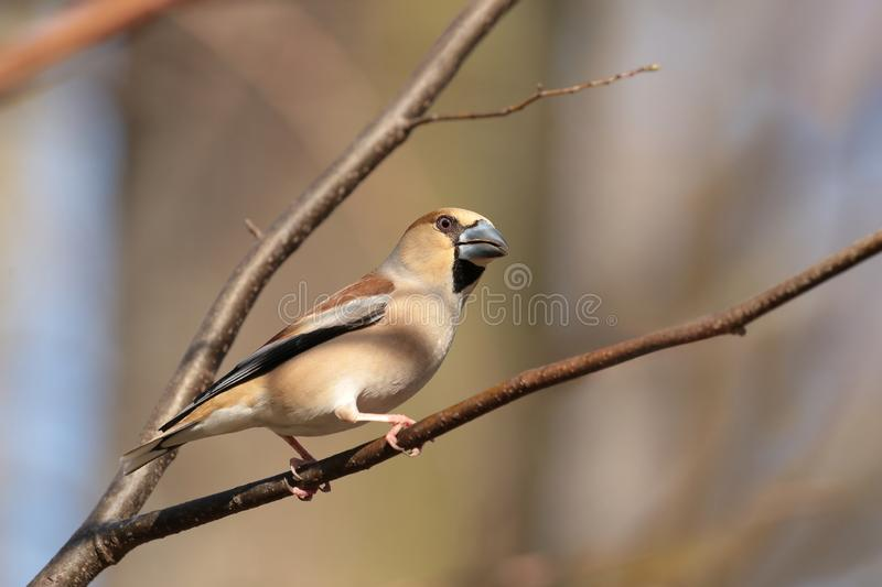 Hawfinch - Coccothraustes coccothrautes in the forest royalty free stock images