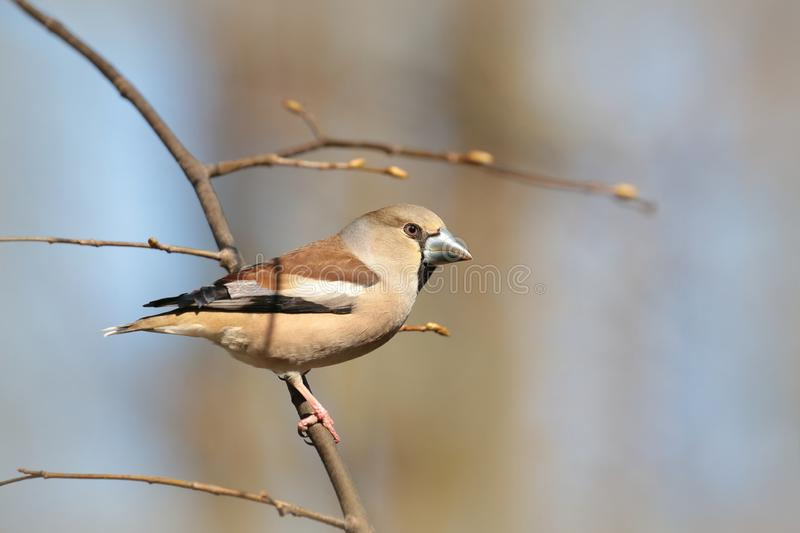 Hawfinch - Coccothraustes coccothrautes in the forest stock photo