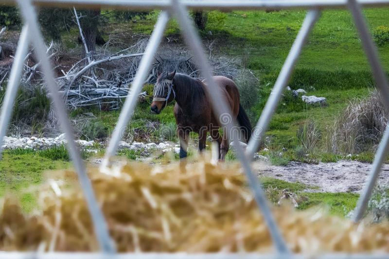 Close up of hay with a stallion horse in the background. stock photography