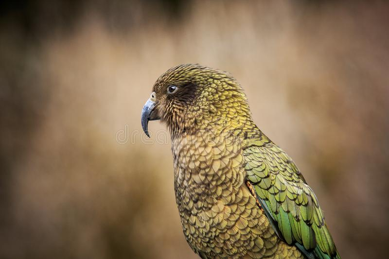 Close up head and bill of kea bird ,ground parrot in new zealand royalty free stock photos