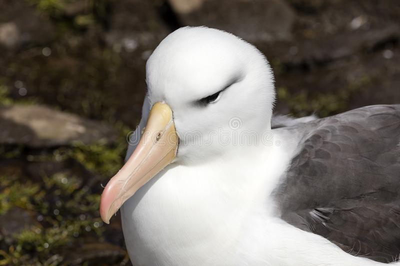 Close-up of the head of a black-browed Albatross on Saunders Island, Falkland Islands royalty free stock photos