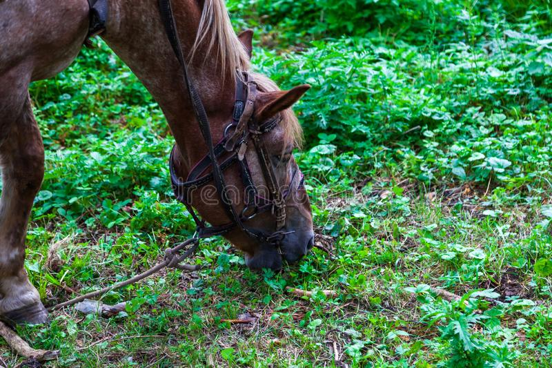 Close up on a head of a arabian horse with a saddle on his back bowed his head and eats green grass in the forest royalty free stock photography