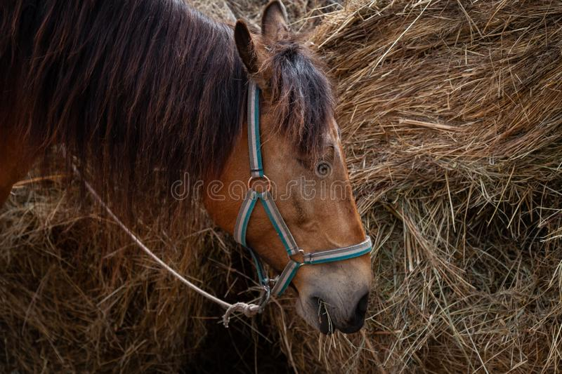Close-up on the head of a horse that eats hay from a dried-out stack in the afternoon royalty free stock photography
