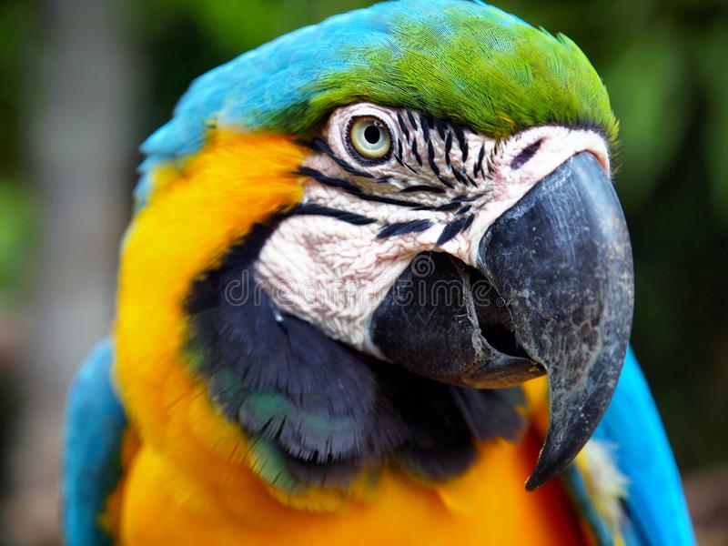 CLOSE UP OF HEAD OF COLORFUL PARROT royalty free stock image