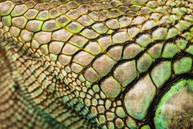 Close-up of a head crest of Plumed basilisk. royalty free stock images