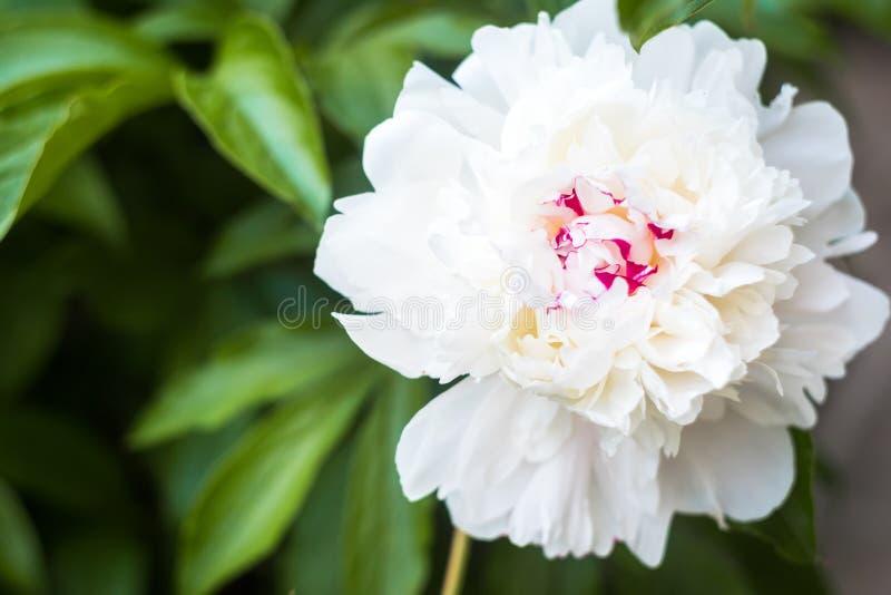 Close up head flower beautiful white peony In summer garden stock photo
