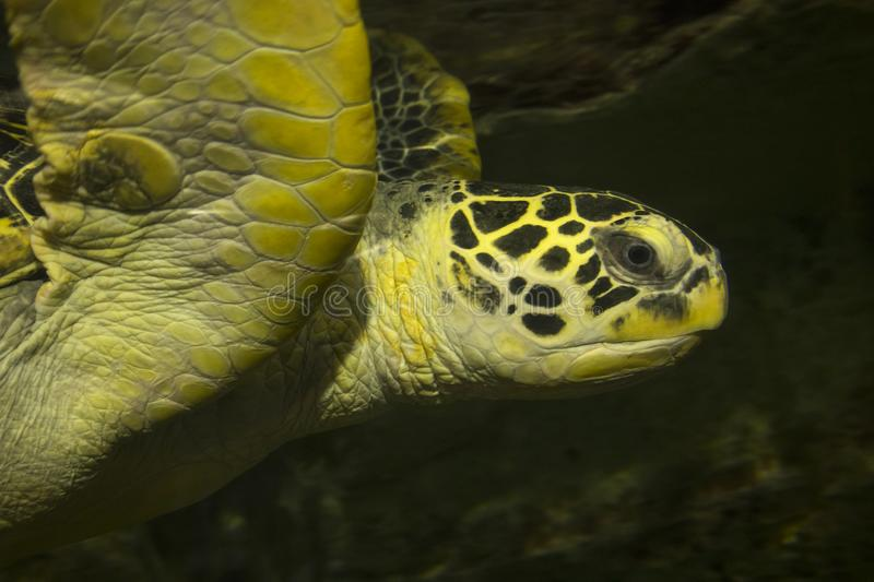 Close up of the head of a green turtle royalty free stock photo