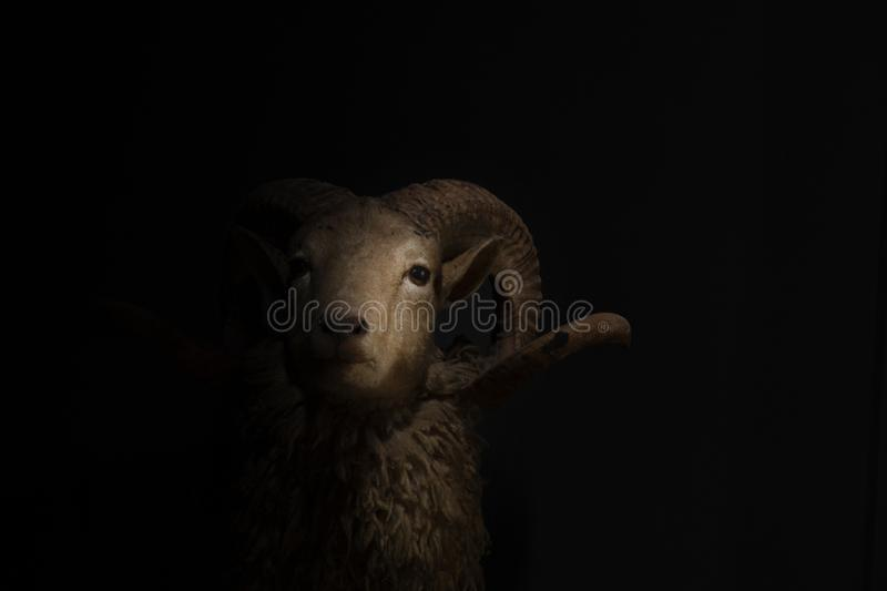 Close up of head and horns of a horned sheep on black background royalty free stock photos