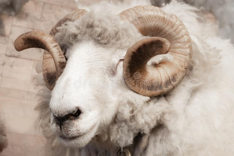 Close up of head and horns of a wild big horned sheep in Southern Canada. Background is a neutral grey fog over a lake. stock images