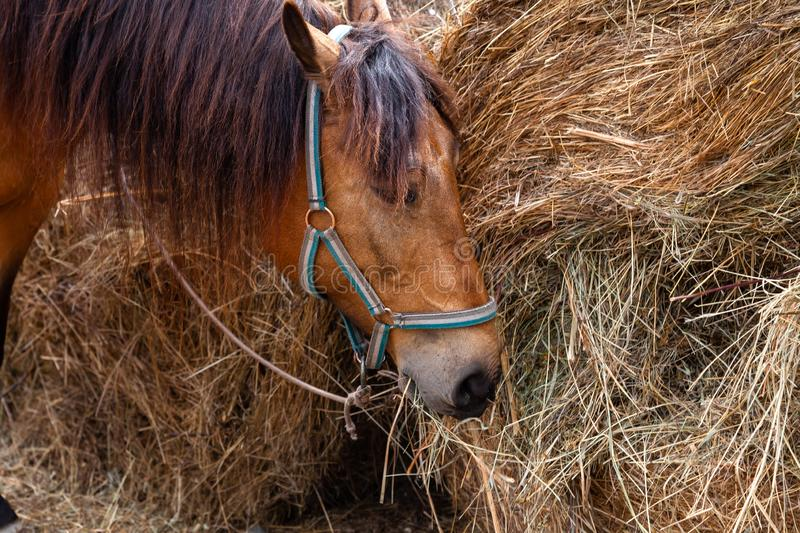 Close-up on the head of a horse that eats hay from a dried-out stack in the afternoon stock photography