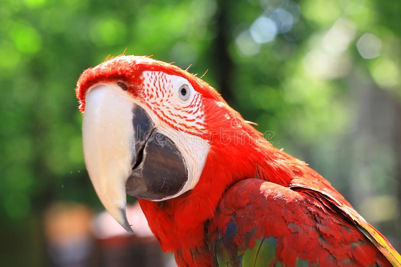 Close up. head, macaw parrot on blurred background royalty free stock photos