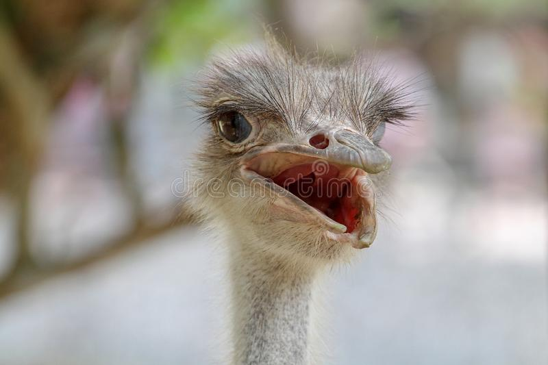 close up head ostrich royalty free stock photo