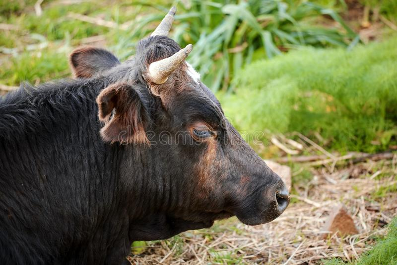 Close up head portrait of a black brown dexter cow in a meadow field. Close up head portrait of a black brown dexter cow cattle lying down in a meadow field stock photography