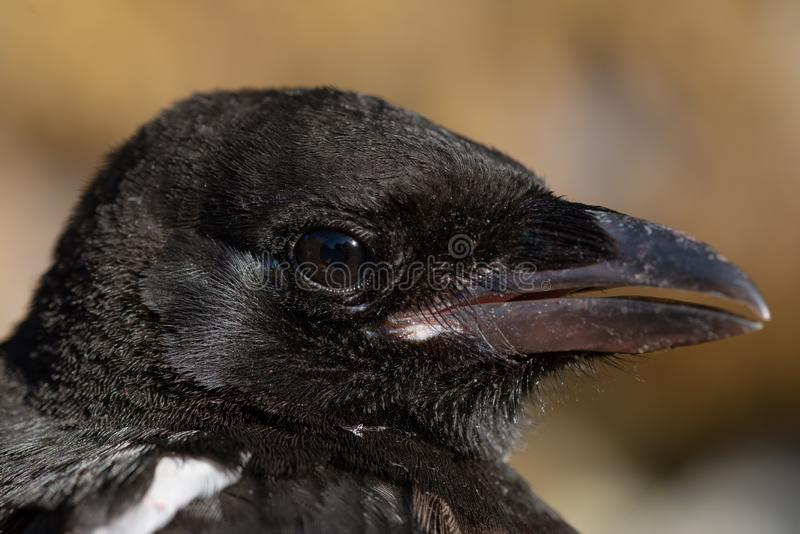 Close up head portrait of a young magpie stock image