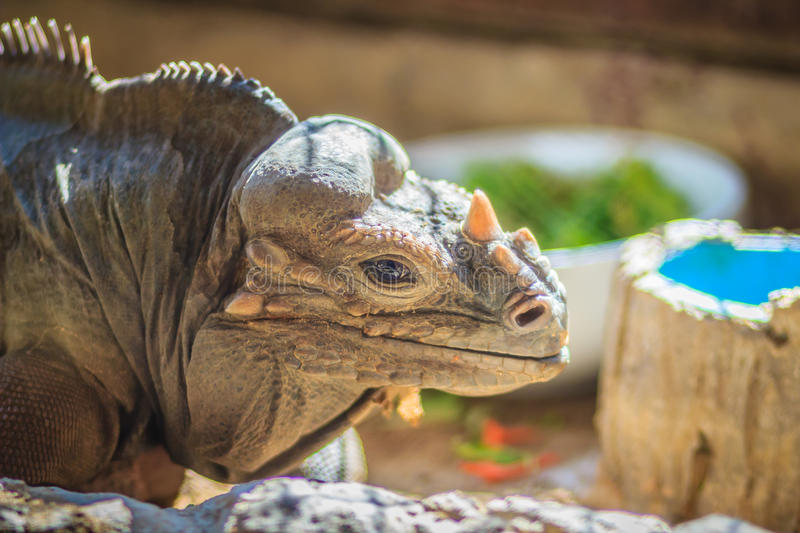 Close up head of Rhinoceros iguana (Cyclura cornuta), also known. As the Goliath dragon royalty free stock image