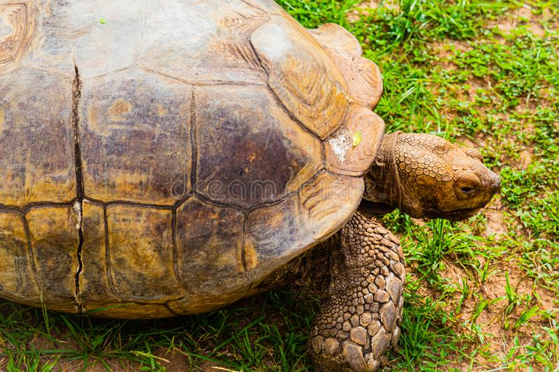 Close up of the head and right front leg of an old tortoise stock images