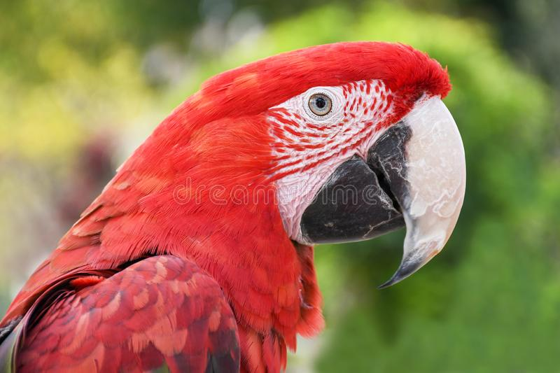 Close up head shoot portrait of an colorful parrot green wing scarlet Macaw stock photo