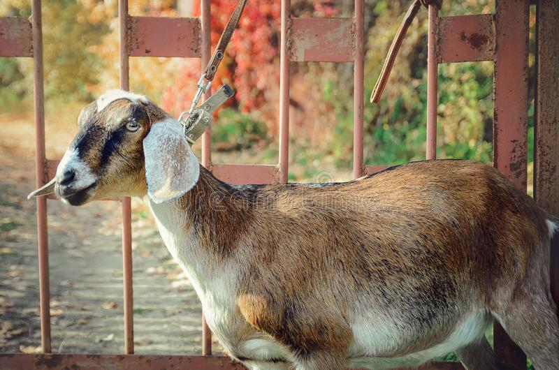 A close-up head shot of an Anglo Nubian goat. royalty free stock photos