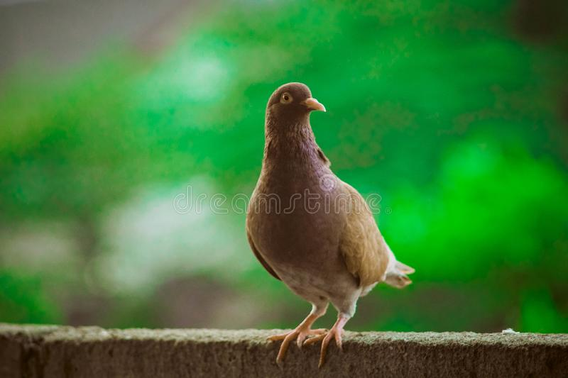 Close up head shot of beautiful speed racing brown pigeon bird. Dove, animal, feather, isolated, wing, nature, white, wild, wildlife, peace, symbol, grey, fly stock photography