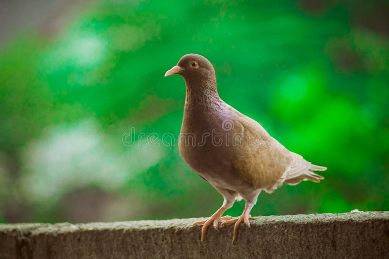Close up head shot of beautiful speed racing brown pigeon bird. Dove, animal, feather, isolated, wing, nature, white, wild, wildlife, peace, symbol, grey, fly stock photo