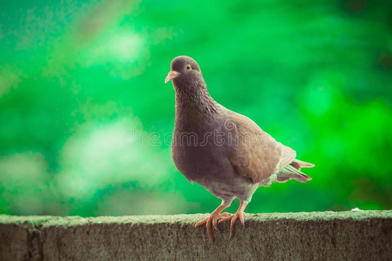 Close up head shot of beautiful speed racing brown pigeon bird. Dove, animal, feather, isolated, wing, nature, white, wild, wildlife, peace, symbol, grey, fly royalty free stock photo