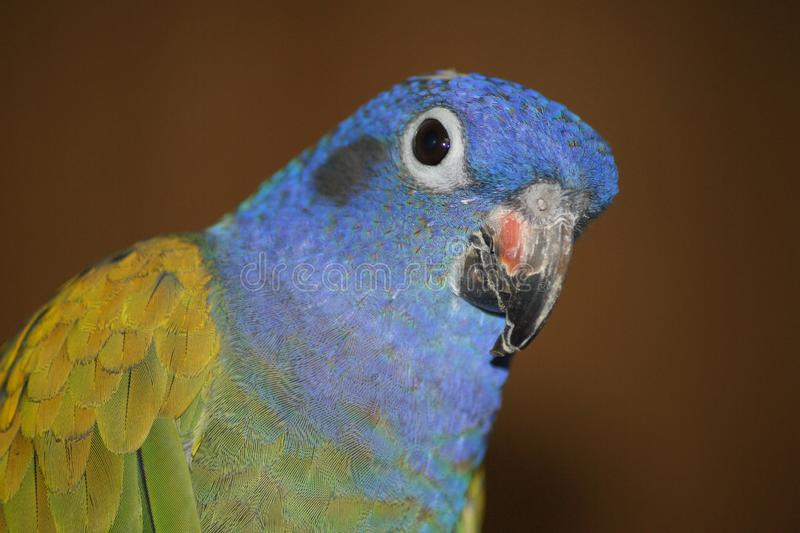 Close up of blue headed pionus parrot. royalty free stock image