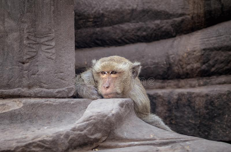 Close up head shot brown hair monkey sitting on old temple , thi royalty free stock images