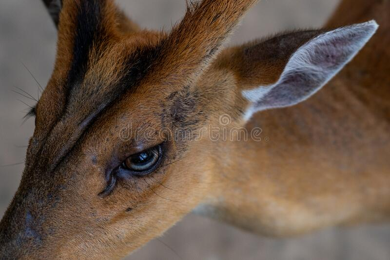 Close-up head-shot of a cute female deer royalty free stock images