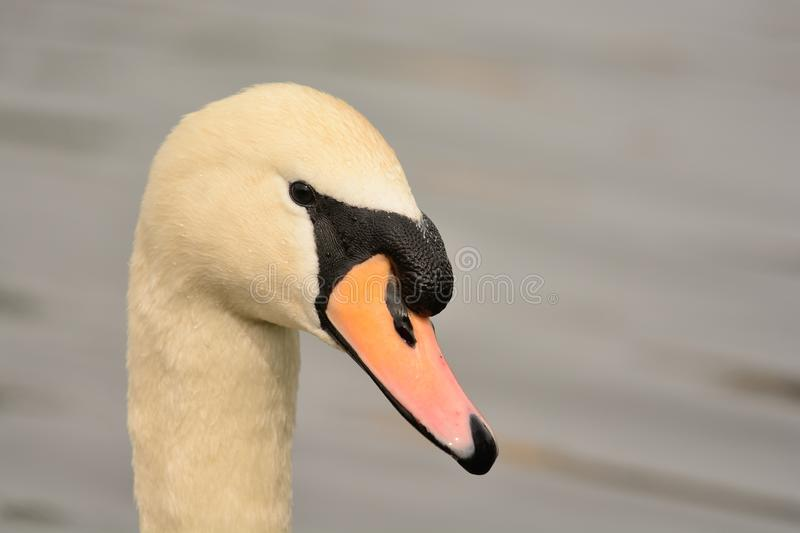 Head shot of a mute swan. Close up head shot of a mute swan royalty free stock image
