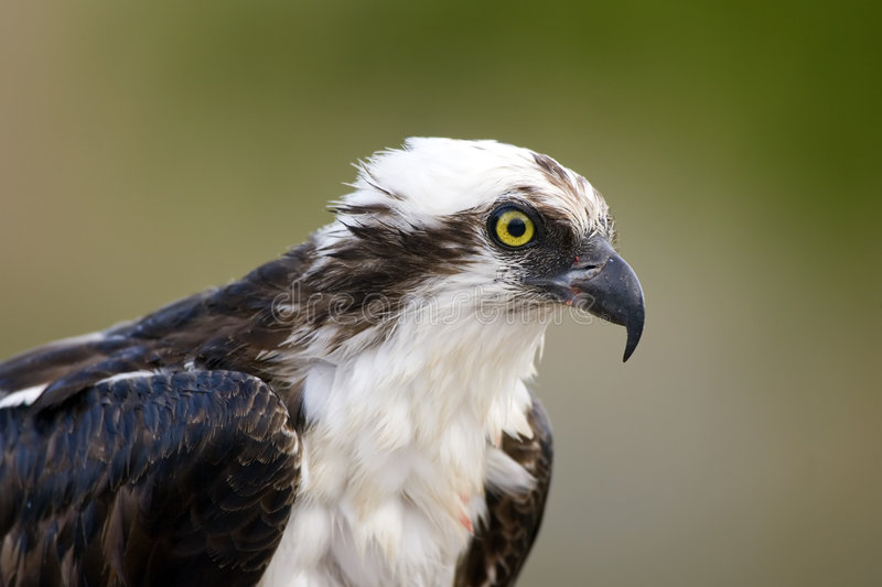 Close up head shot of an Osprey royalty free stock images