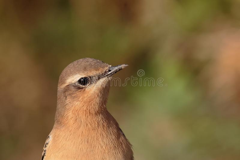 Close up head shot photo of a Northern Wheatear bird, Oenanthe oenanthe. stock photography